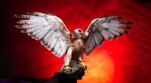 Birds Of Prey - Red Tailed Buz...