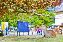View Of Deer Resting In Nara P...