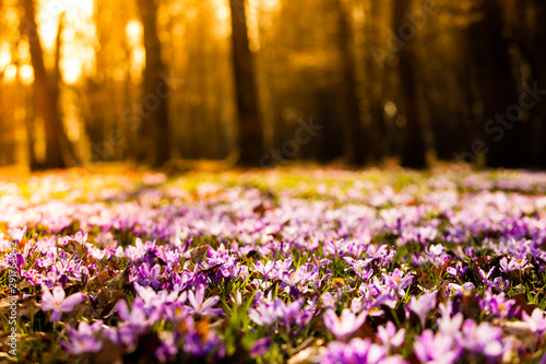 Keuken foto achterwand Krokussen Saffron meadow flowers in the national park
