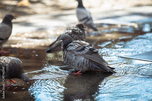 group of pigeons taking bath and drinking water in park