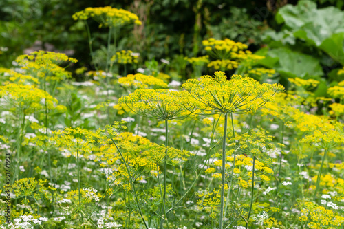 Foto Closeup of dill and cilantro thickets in a rustic garden.