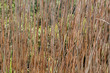Vertrocknetes Schilfrohr, Phragmites australis