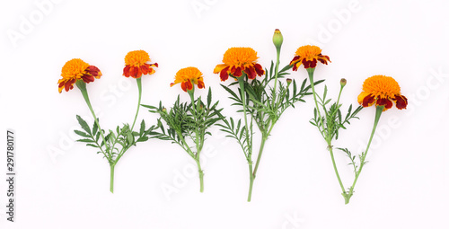 Fotografía  Beautiful orange marigolds on a white background
