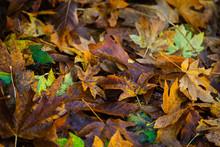 Falling Maple Leaf On The Grou...