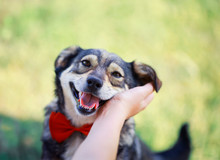 Human Hand Rubs Behind The Ear Cute Brown Dog In The Elegant Red Butterfly Smiling Pretty