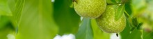 Banner Of Two Green Walnut Growing On A Tree Branch Close Up