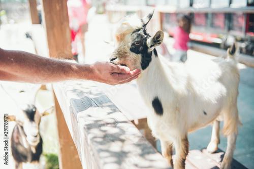 Pinturas sobre lienzo  Man feeding goat