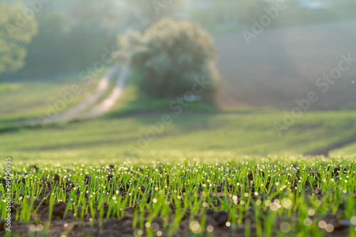 Photo sur Toile Amsterdam Young wheat crops in the morning agricultural field