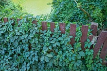Brown Wooden Fence Overgrown W...