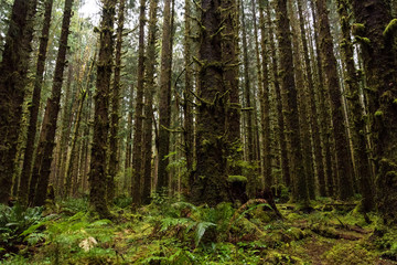 Trees of the Olympic National Park in Washington