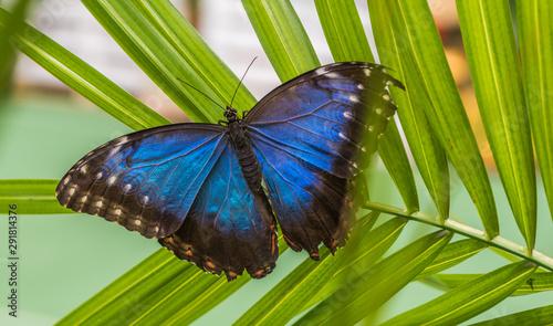 Cuadros en Lienzo Blue Morpho, Morpho Peleides, Morfa Peleida, Big Butterfly Sitting on Green Leav