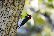 An Acorn Woodpecker, Melanerpes Formicivorus,  On The Trunk Of A Tree.