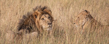 Male And Female Lion In The Gr...