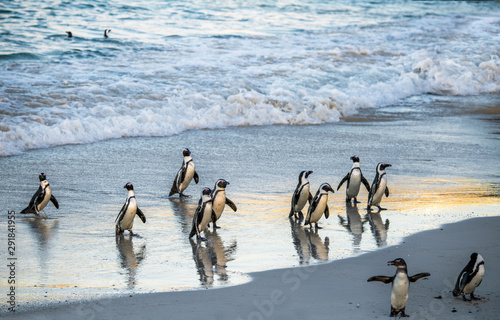 Keuken foto achterwand Pinguin African penguins walk out of the ocean to the sandy beach. African penguin also known as the jackass penguin, black-footed penguin. Scientific name: Spheniscus demersus. South Africa