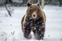 Brown Bear Running On The Snow...