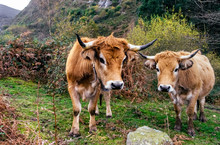Cows Grazing In The Forest