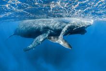 Asleep Humpback Whale Mom And Its Calf
