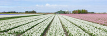 Broad White Hyacinth Flower Field And Farmhouse