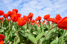 Red Tulips Bloom In Spring Farm Under Cloudy Blue Sky