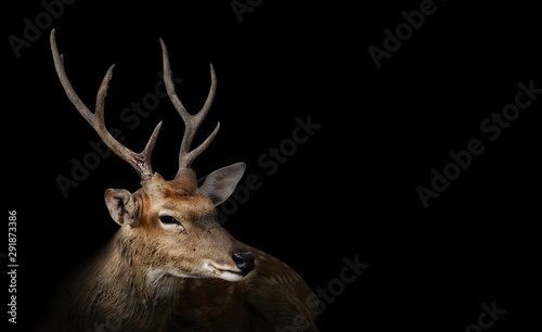 Foto op Aluminium Hert Spotted deer or chitals portrait on black background with clipping path. Wildlife and animal photo