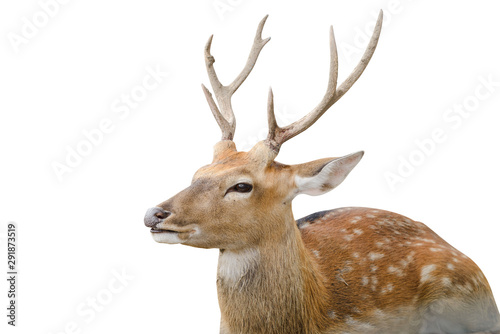 Poster Cerf Spotted deer or chitals portrait on white background with clipping path. Wildlife and animal photo