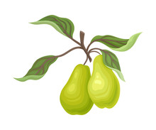 Pair Of Green Pears On A Branc...