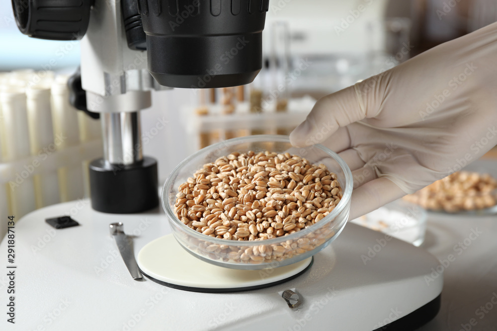 Fototapeta Scientist examining wheat grains with microscope in laboratory, closeup