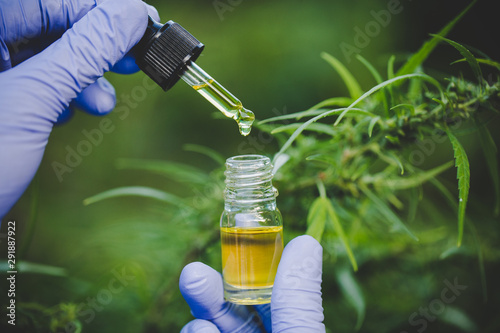 Photo  The hands of scientists dropping marijuana oil for experimentation and research, ecological hemp plant herbal pharmaceutical cbd oil from a jar