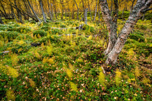 Wood Horsetail (Equisetum Sylv...