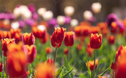 Tulips in the city