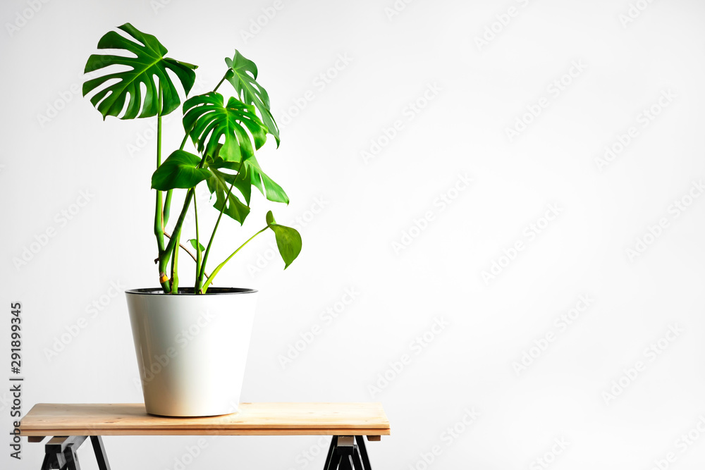 Fototapeta Beautiful monstera flower in a white pot stands on a wooden table on a white background. The concept of minimalism. Hipster scandinavian style room interior. Empty white wall and copy space.