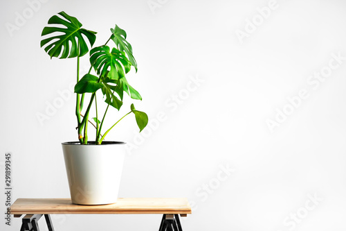 Fond de hotte en verre imprimé Vegetal Beautiful monstera flower in a white pot stands on a wooden table on a white background. The concept of minimalism. Hipster scandinavian style room interior. Empty white wall and copy space.
