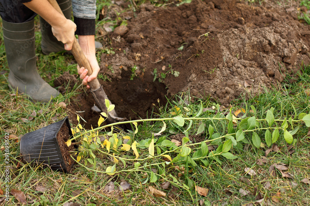 Fototapety, obrazy: seedlings of garden blueberries in a pot before planting in the ground. gardener prepares a pit