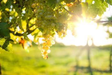Vendemmia in Italia per la produzione di vino bianco