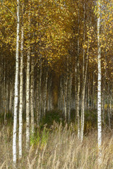 Panel Szklany Podświetlane Las Beautiful autumn birch forest with grass and fallen yellow autumn leaves in Europe, Latvia.