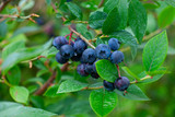 Blueberry Fruit on the Bush - 291908798