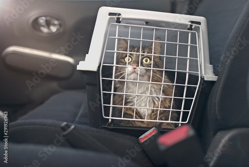 plakat Cute Maine coon cat in a pet carrier stands on the passenger seat in a car.