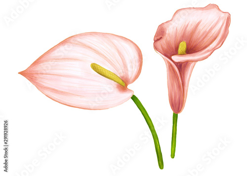 Set of hand drawing soft pink-beige flowers anthurium and zantedeschia on white background Canvas Print