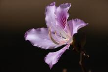 Pink Bauhinia Flower Isolated On Black Background. Orchid Tree (Bauhinia Monandra).
