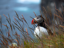 Atlantic Puffin On The Cliff