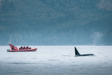 Killer Whale Watching In Vanco...