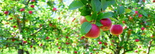 Reife Rote Äpfel - Apfelwiese...