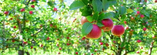 Photo Reife rote Äpfel - Apfelwiesen in Südtirol kurz vor der Apfelernte