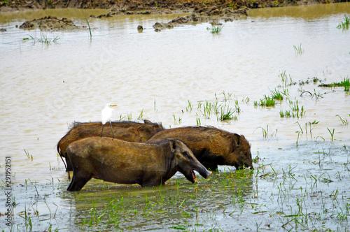 Valokuvatapetti Wild boars in a swamp of Sri Lanka