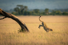 Cheetah Jumps Down From Tree In Grassland