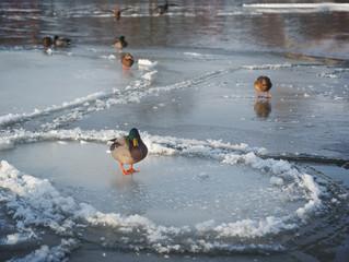 Mallards (wild ducks) on thin ice circles (pan ice) on cold sunny winter day