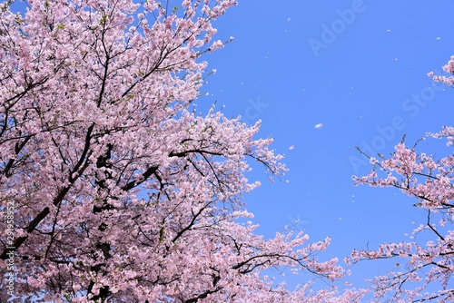 Fotografie, Obraz  臥竜公園の桜