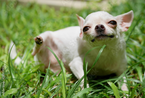 fototapeta na ścianę Funny white short hair Chihuahua dog trying to scratch herself in the garden