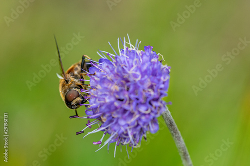 Mimic bee collecting pollen from a wild purple flower Tablou Canvas