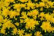 canvas print picture - Gelb blühende Garten-Chrysanthemen